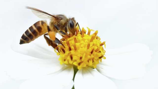 Israel e a extinção das abelhas